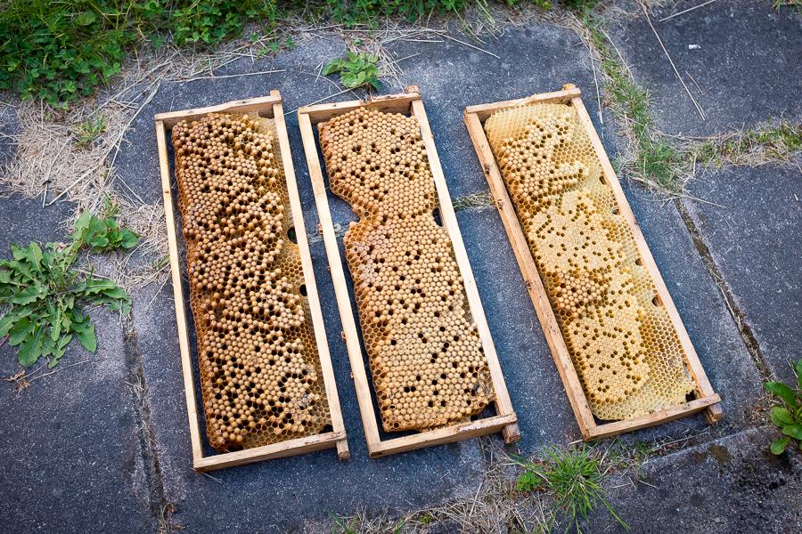 Ramar med drönaryngel för bekämpning av varroakvalster. Foto: http://www.bubbelbubbel.se