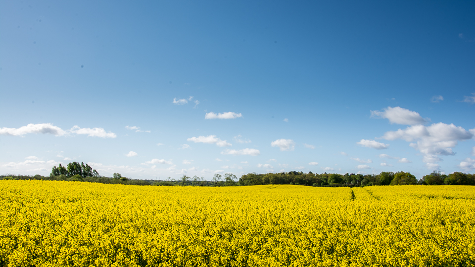 Rapeseed field in full bloom.